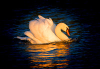 Graceful Swan cruising on the Thames