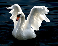 Swan with Angels Wings